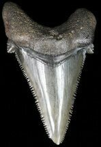 "Buy Glossy, Serrated, 2.16"" Angustidens Tooth - Megalodon Ancestor - #52984"