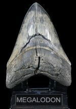 "Buy Serrated, 6.01"" Fossil Megalodon Tooth - Beautiful Monster - #56467"