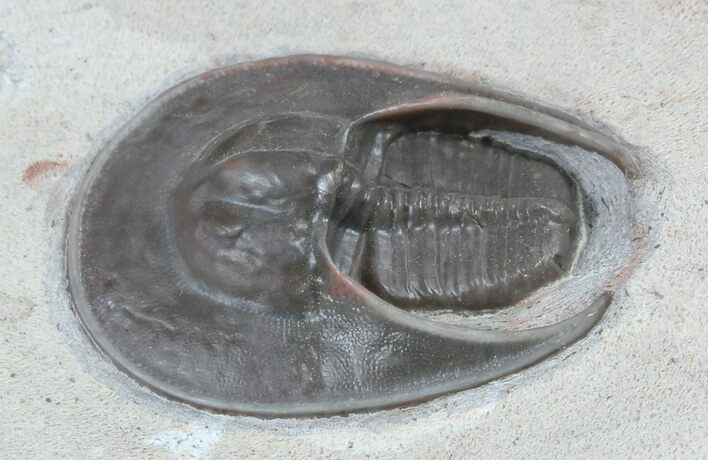 "1.15"" Harpid Trilobite From Jorf - Rare At Location"