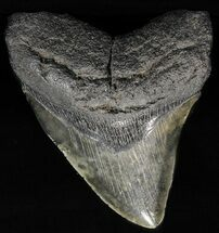 "Buy 4.31"" Fossil Megalodon Tooth - #56839"