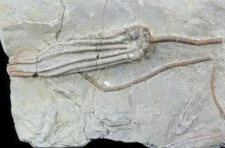 "Buy 5.2"" Long Scytalocrinus Crinoid - Crawfordsville, Indiana - #57028"