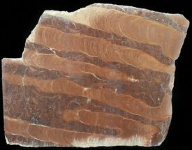 "Buy 9.4"" Polished Stromatolite (Jurusania) From Russia - 950 Million Years - #57553"
