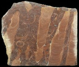 "7.7"" Polished Stromatolite (Jurusania) From Russia - 950 Million Years For Sale, #57554"