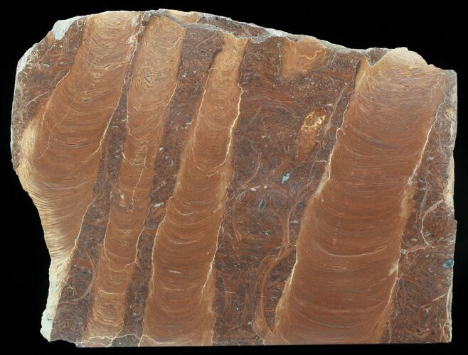 "7.7"" Polished Stromatolite (Jurusania) From Russia - 950 Million Years"