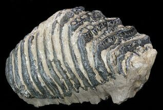 "Buy Huge, 12.1"" Southern Mammoth M3 Molar  - #57808"