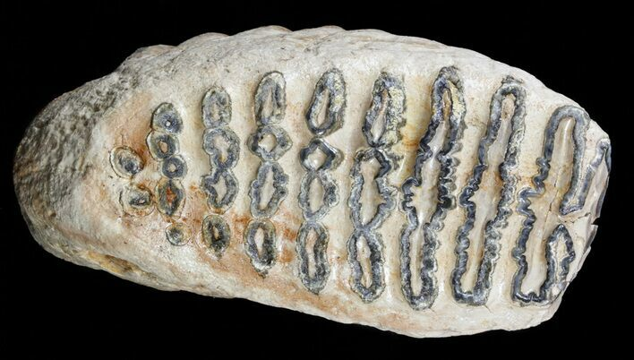 "7.4"" Southern Mammoth Upper Jaw M2 Molar"