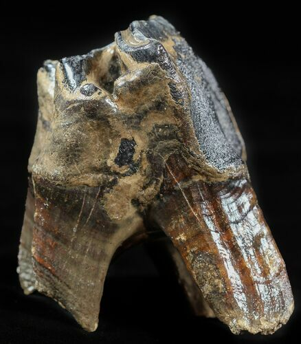 "3.3"" Fossil Rhino (Stephanorhinus) Upper Molar - Germany"