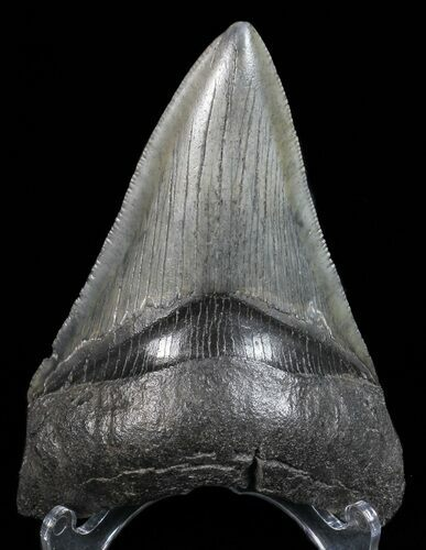 "Serrated, 3.52"" Lower Megalodon Tooth - Georgia"