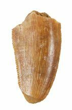 "Buy Bargain, .69"" Raptor Tooth - Morocco - #57931"
