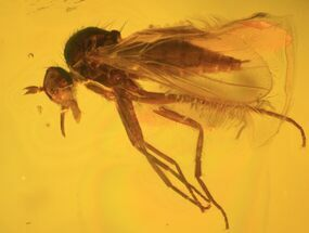 Order Diptera - Fossils For Sale - #58041