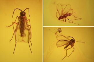 Three Detailed Fossil Flies (Diptera) In Baltic Amber For Sale, #58142