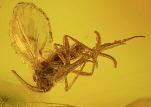 Buy Detailed Fossil Fly (Diptera) In Baltic Amber - #58045