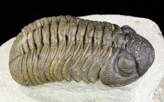 "Buy Beautiful, 2.5"" Barrandeops Trilobite - Foum Zguid, Morocco - #58444"