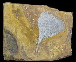 Ginkgo adiantoides - Fossils For Sale - #58980