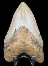 "4.75"" Megalodon Tooth - North Carolina For Sale, #59072"