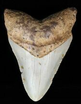 "Buy 4.11"" Megalodon Tooth - North Carolina - #59065"