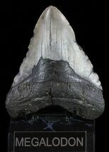 "5.15"" Megalodon Tooth - North Carolina For Sale, #59201"