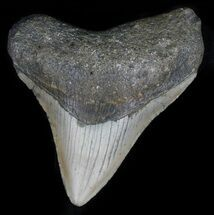 "Buy 3.08"" Megalodon Tooth - North Carolina - #59146"