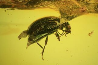 Detailed Fossil Beetle (Coleoptera) In Baltic Amber For Sale, #59414