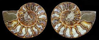 Cleoniceras - Fossils For Sale - #59436