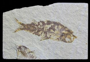 "Buy 4.2"" Knightia Fossil Fish - Wyoming - #59830"