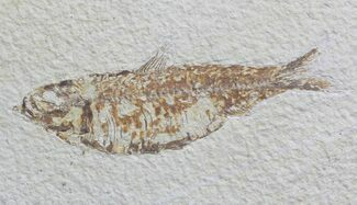 "4"" Knightia Fossil Fish - Wyoming For Sale, #59831"