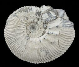 Kosmoceras (Guliemiceras) jasoni - Fossils For Sale - #60300