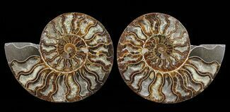"Buy 7.3"" Cut & Polished Ammonite Pair - Agatized - #60286"