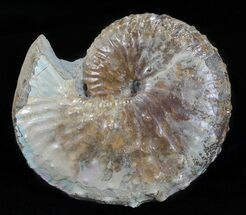 "2.8"" Discoscaphites Gulosus Ammonite - South Dakota For Sale, #60239"