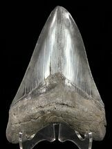 "4.82"" Megalodon Tooth - Serrated Blade For Sale, #60488"