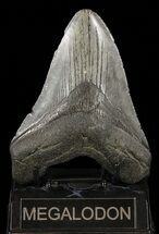 "Bargain, 5.02"" Fossil Megalodon Tooth For Sale, #60491"