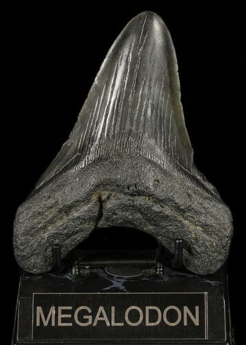 "Bargain, 5.05"" Fossil Megalodon Tooth"