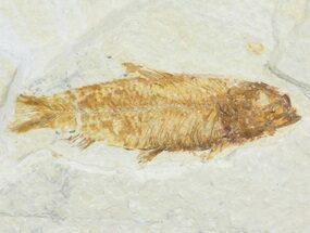 "Bargain, 2.5"" Knightia Fossil Fish - Wyoming For Sale, #60479"