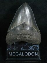 Carcharocles megalodon, South Carolina, 5.15 inches long, #5193