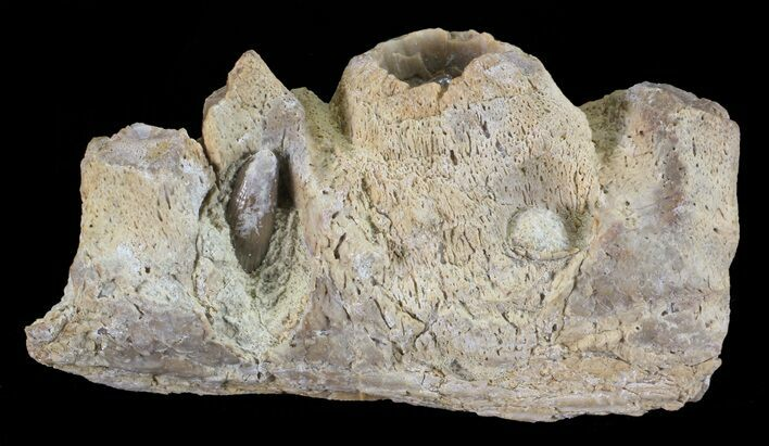 "1.6"" Mosasaur (Platecarpus) Jaw Section - Kansas"