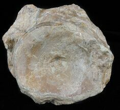 Xiphactinus audax - Fossils For Sale - #60675