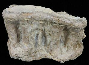 "Buy 2.4"" Xiphactinus (Cretaceous Fish) Vertebra - Kansas - #60685"