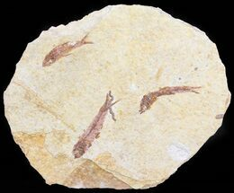 Buy Multiple Knightia Fossil Fish - Wyoming - #60793