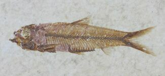 "Detailed 1.9"" Knightia Fossil Fish - Wyoming For Sale, #60854"