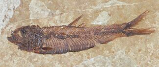 "2.2"" Knightia Fossil Fish - Wyoming For Sale, #60869"