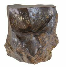 "Buy .61"" Triceratops Shed Tooth - Montana - #60628"