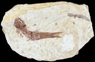 "1.8"" Knightia Fossil Fish - Wyoming For Sale, #60872"