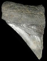 "Buy Partial, 3.3"" Fossil Megalodon Tooth  - #48382"