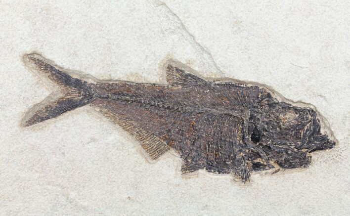 "12"" Diplomystus Fish Fossil - Wyoming"
