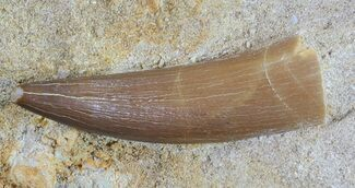"Buy 1.7"" Fossil Plesiosaur (Zarafasaura) Tooth In Rock - #61114"