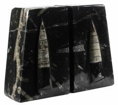 "Buy 4.7"" Polished Orthoceras Bookends - Morocco - #61336"