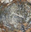 "15.7"" Colorful Petrified Wood Round - Madagascar - #61862-1"