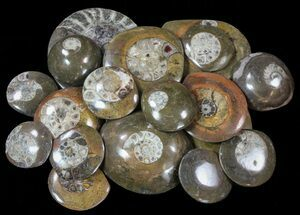 "1.8"" to 4"" Goniatite Fossil  ""Buttons"" (Wholesale Flat) - ~100 Pieces For Sale, #62057"