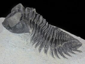 "Buy Bargain, 1.9"" Coltraneia - Bug Eyed Trilobite - #62071"