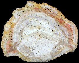 "5.5"" White Petrified Tree Fern (Tietea) Slab - Brazil For Sale, #62585"